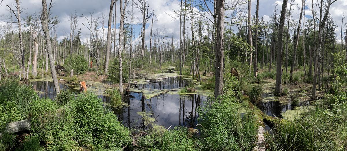 Puszcza w Białowieskim Parku narodowym. Nocleg u Kołodzieja - Białowieża: pokoje i pole namiotowe